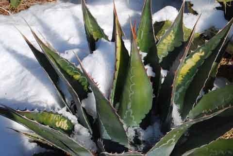 D g ts du gel sur plantes succulentes 1 - Plante resistant au gel ...
